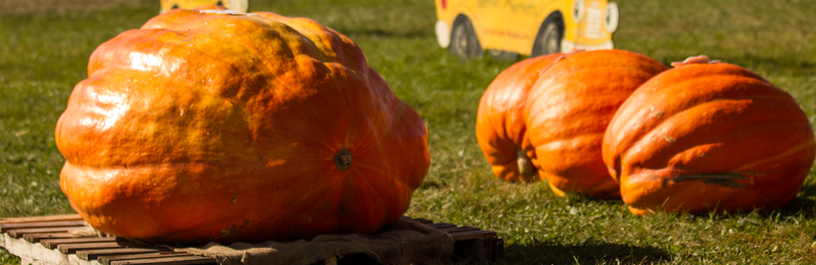 nieman-markets-large-pumpkins