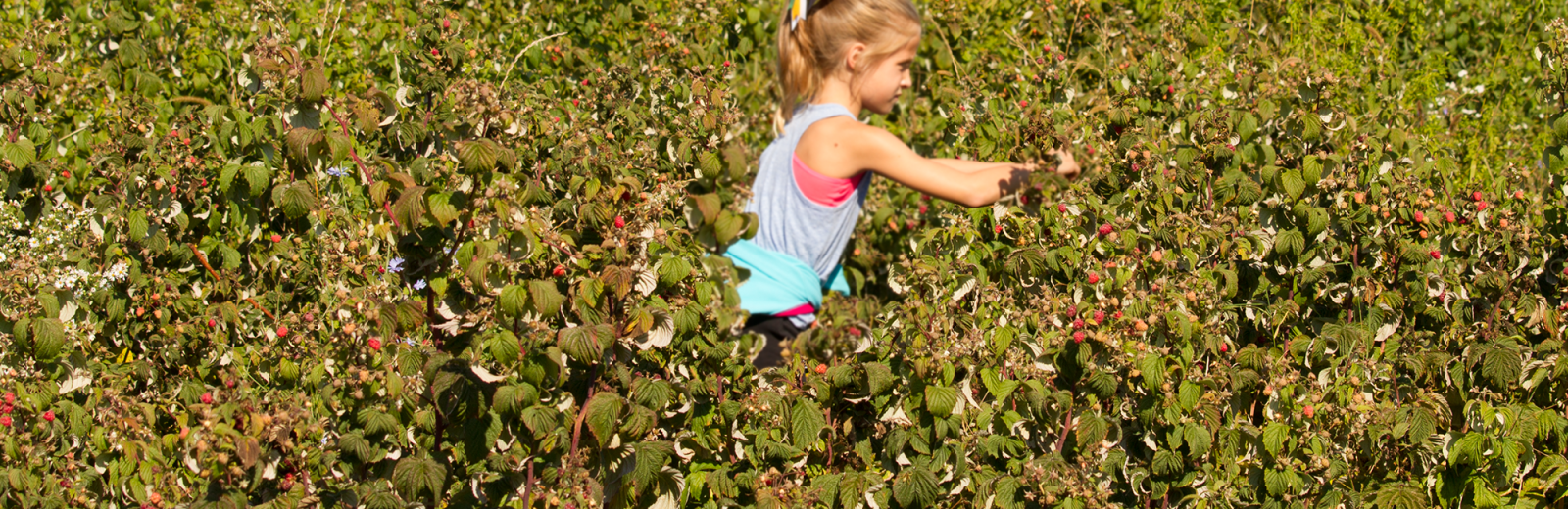 nieman-markets-you-pick-raspberries